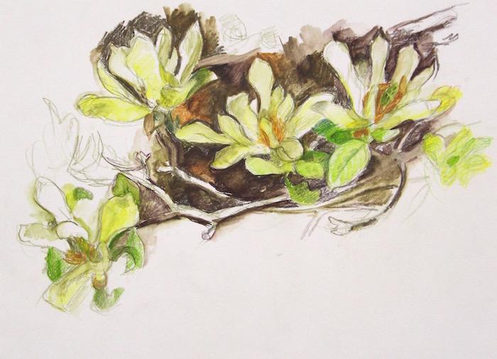 'Butterflies' magnolia web
