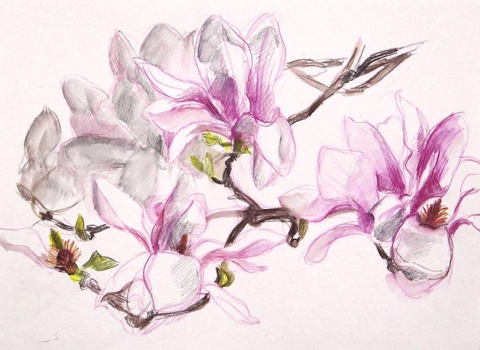 saucer magnolias web